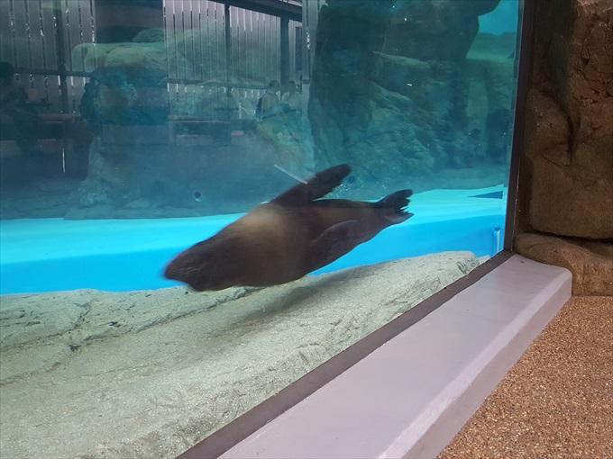 Galaxy S6 edgeで撮った泳ぐオットセイ1
