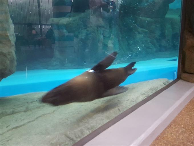 Galaxy S6 edgeで撮った泳ぐオットセイ2