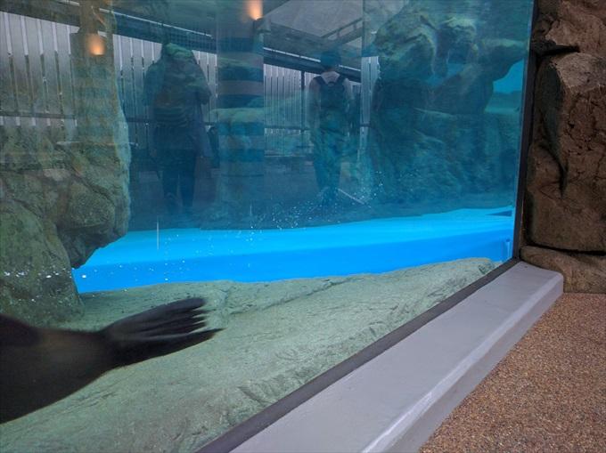 Nexus 5Xで撮った泳ぐオットセイ2