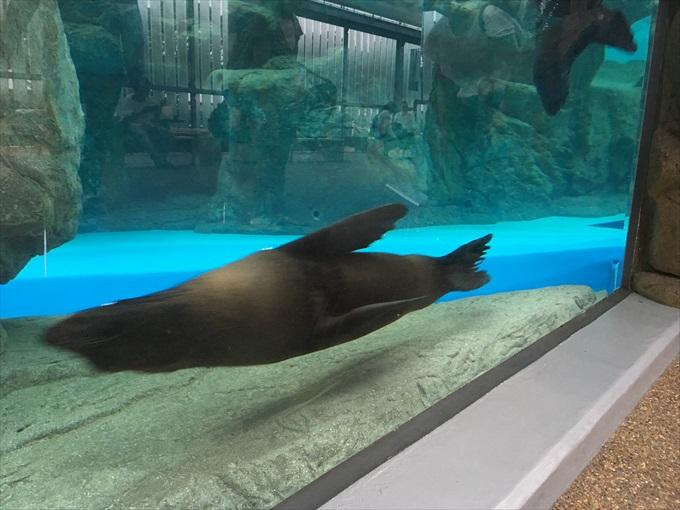 iPhone SEで撮った泳ぐオットセイ1